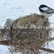 Chickadee_in_Nest-61