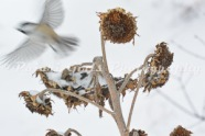 Chickadee_on_Sunflower-49