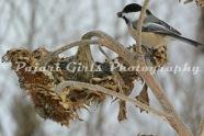 Chickadees-129