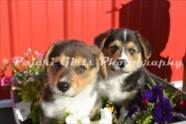 Corgi_Puppies_Photo_Shoot-175