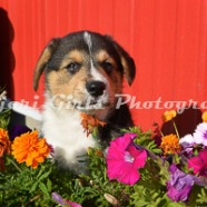 Corgi_Puppies_Photo_Shoot-45