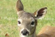 Deer-22