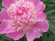 Flower-258