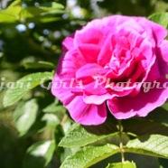 Flower-383
