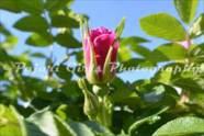 Flower-386