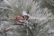 Frosty_Trees_-11