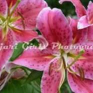 lilies-7