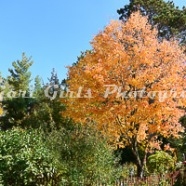 Maple_Tree_at_Farm-7