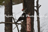 Pileated-3
