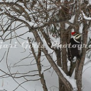 Pileated_Woodpecker-18