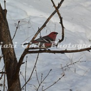 Pine_Grosbeak-367