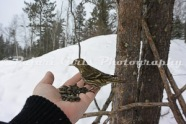 Pine_Siskins_in_Hand-31