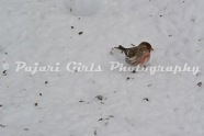 Redpolls_and_Siskins-4