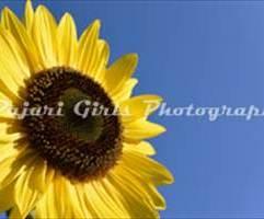 sunflowers-17-2