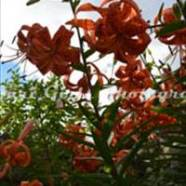 Tiger_Lilies-4