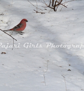 Pine Grosbeak-240